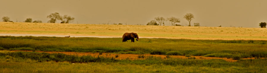 A lone bull in one of the marsh areas of Tsavo East.