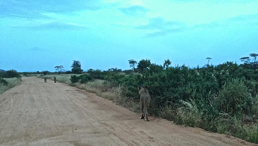 We were lucky enough to follow these 3 lionesses along the road on our way back to camp in the evening, just after a Leopard sighting