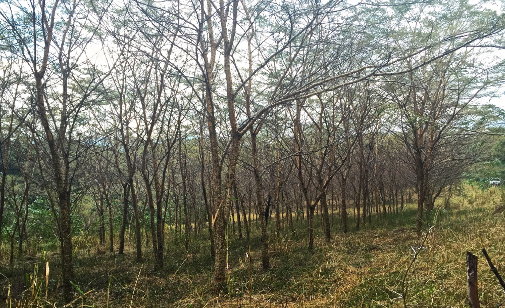 Experimental acacia forest on Homa Lime