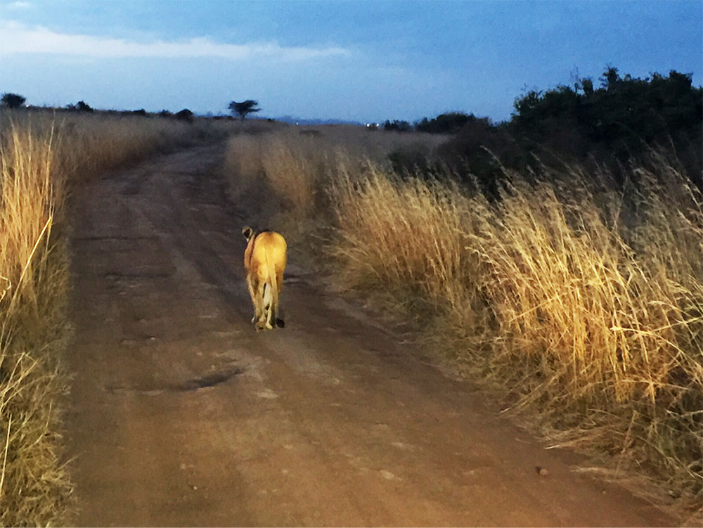 A lioness holds up traffic at dusk in the Nairobi National Park